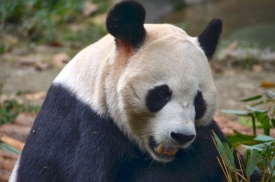 Chendu China Panda